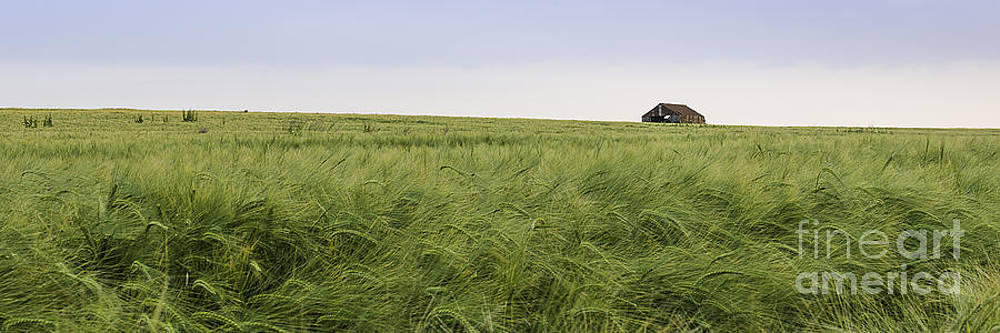 Summer Barley by Christopher Llewellyn