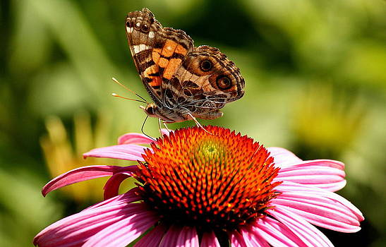 Rosanne Jordan - Summer Butterfly