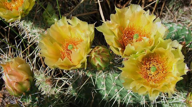 Kae Cheatham - Summer Cactus Blooms
