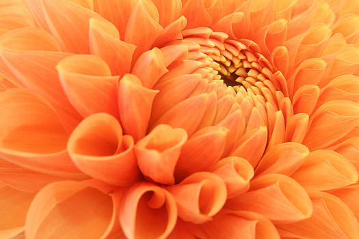 Summer Dahlia by Marc Huebner