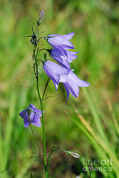 Summer Flowering Harebell by John Kelly