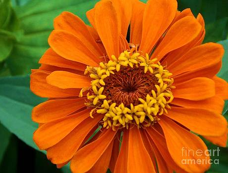 Summer Orange Zinnia by Annette Allman