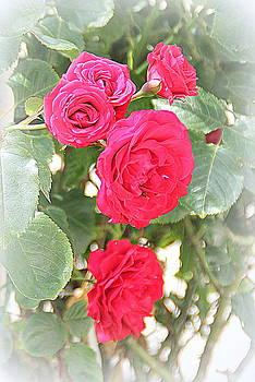 Summer Roses by Jacqui Kilcoyne