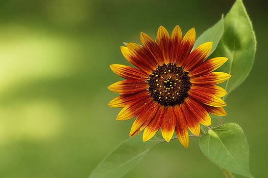 Scott Hovind - Summer Sunflower 3