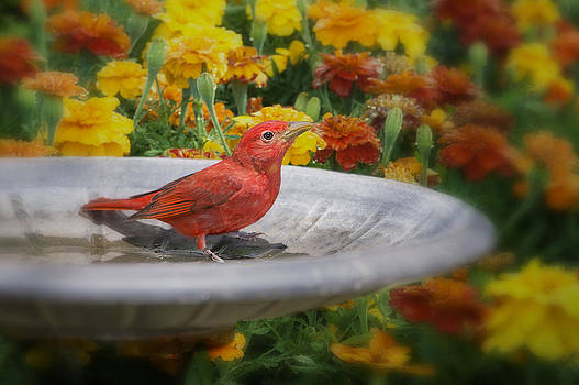 Summer Tanager and Marigolds by Bonnie Barry