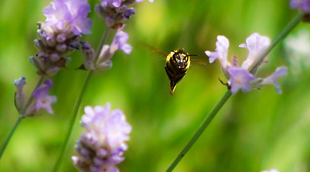 Summer time Mr bumble by Catherine Davies