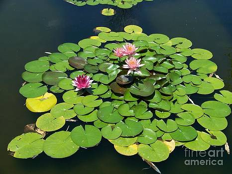 Summer Waterlilies by Kevin Croitz
