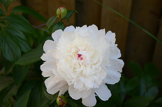 Summer White Peony by Evelyn Collins