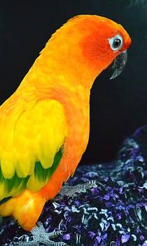 Nicki Bennett - Sun Conure Parrot Portrait