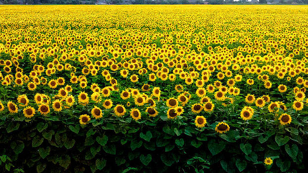 Sun Flower Field  by Brian Orlovich