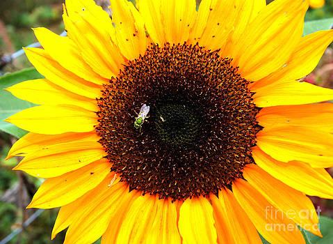 Nick Gustafson - Sun Flower