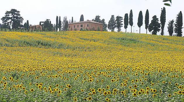 Sun Flowers by Olaf Christian