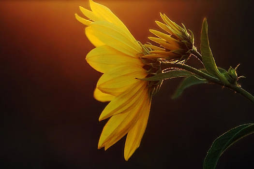 Sun set daisy by Gary Campbell