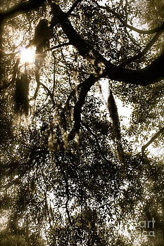 Danielle Groenen - Sun Soaked Oak Trees Sepia