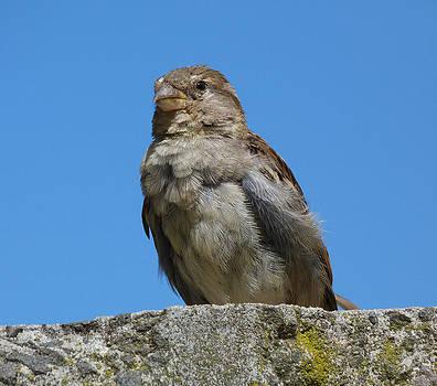 Margaret Saheed - Sunbathing House Sparrow