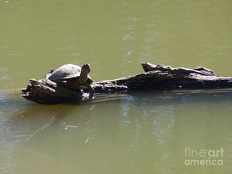 Sunbathing Turtle by Kevin Croitz