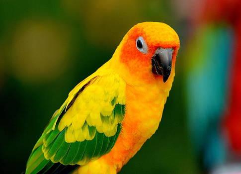 Sunburst Conure Parrot by Eleu  Tabares