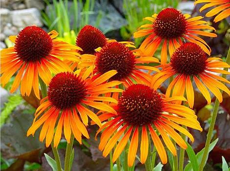 Sunburst Echinacea by Shere Crossman