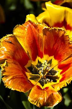 Tulip-Flowers-Sunburst by Matthew Miller