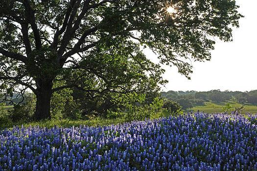 Susan Rovira - Sunburst Oak and Bluebonnets