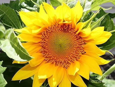 Sunburst Of Yellow by Judy Palkimas