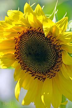 Christine Belt - Sunday Morning Sunflower