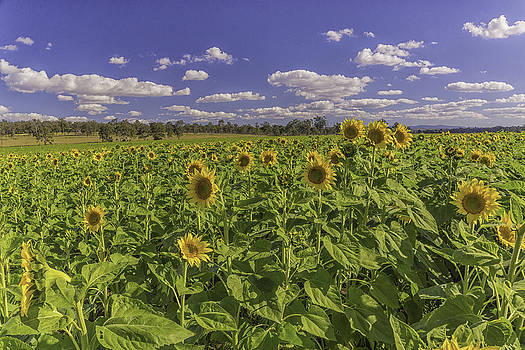 Sunfield by Peter Lombard