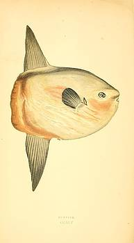 Sunfish by Emis Miko