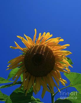 Sunflower 1 by Henry Ireland