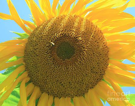 Sunflower 2 by Henry Ireland