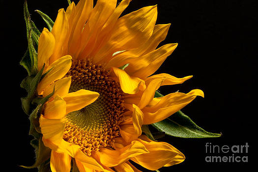 Sunflower 2010 by Art Barker