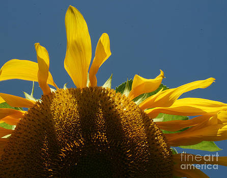 Sunflower 3 by Henry Ireland