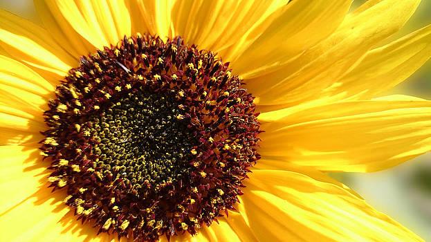 Sunflower 3.... by Jacqueline Schreiber