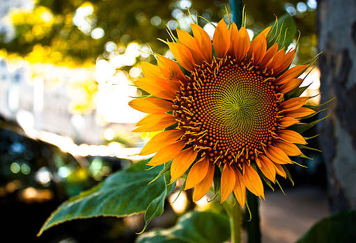 Sunflower 4 Street Life by David Forester