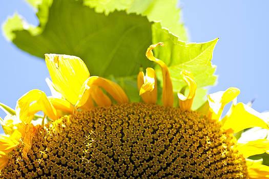 Sunflower by Allan MacDonald