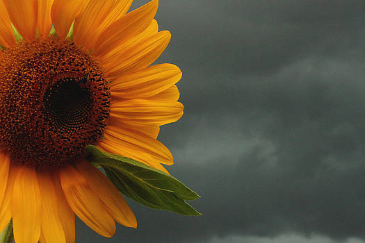 Sunflower and a Storm by Terri JS Molitor