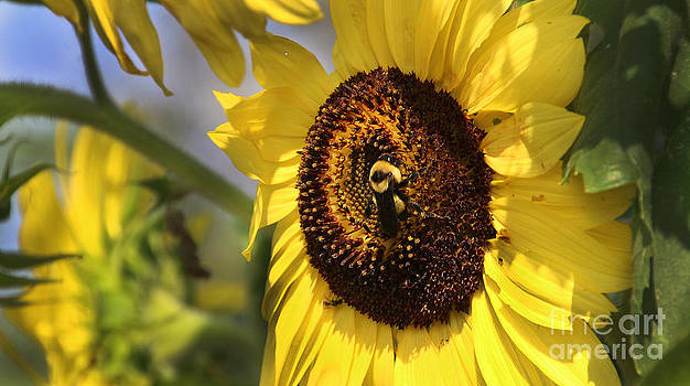 Gary Gingrich Galleries - Sunflower and Bee-3922