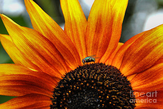 Sunflower and Fly  by Andrea Kollo