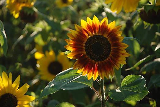 Sunflower by Andrew Barker