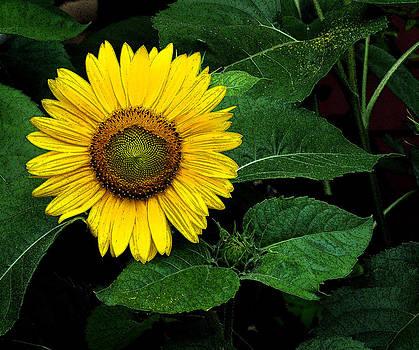 Sunflower Art by Liz Mackney