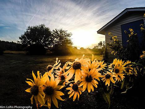 Sunflower at Dawn by Kim Loftis