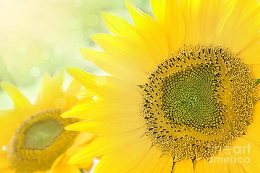 Mythja  Photography - Sunflower background