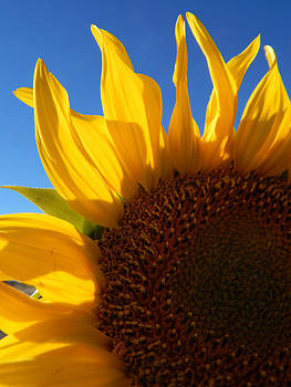Sunflower Blue Sky by Justyne Moore