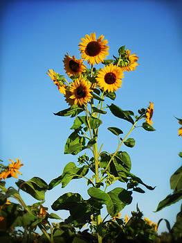 Sunflower Blues by Jonathan Westfall