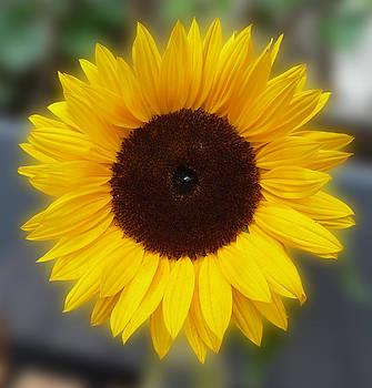 Baato   - sunflower bokeh