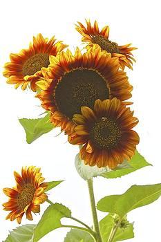 Sunflower bouquet by John Kearns