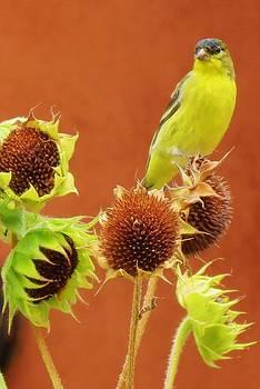 Feva  Fotos - Sunflower Buffet