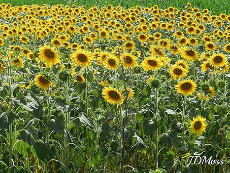 Sunflower Bundles by Janet Moss
