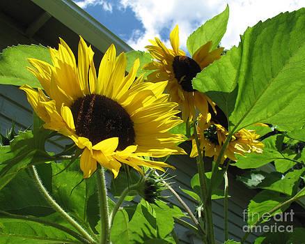 Sunflower by Carol McCutcheon