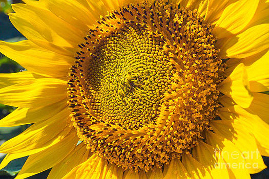 Sunflower Close Up by Kimberly Blom-Roemer